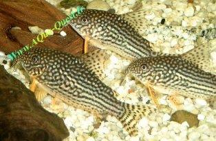 http://www.aqua-quest.ir/Files/Picture/Aquarium-Basics/Compatibility/Groups/Group1/Corydoras-Catfish-Www.AQua-Quest.Ir.jpg