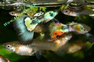 http://www.aqua-quest.ir/Files/Picture/Aquarium-Basics/Compatibility/Groups/Group1/Fancy-Guppies-Www.AQua-Quest.Ir.jpg