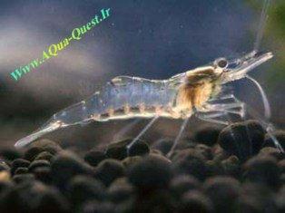 http://www.aqua-quest.ir/Files/Picture/Aquarium-Basics/Compatibility/Groups/Group1/Ghost-Srimp-Www.AQua-Quest.Ir.jpg