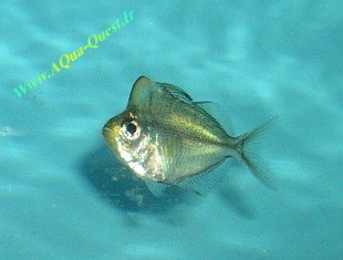 http://www.aqua-quest.ir/Files/Picture/Aquarium-Basics/Compatibility/Groups/Group1/Glass-Fish-Www.AQua-Quest.Ir.jpg