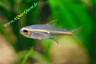 http://www.aqua-quest.ir/Files/Picture/Aquarium-Basics/Compatibility/Groups/Group1/Glow-light-Tetras-Www.AQua-Quest.Ir.jpg