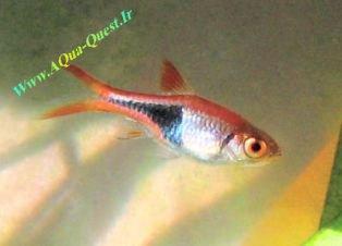 http://www.aqua-quest.ir/Files/Picture/Aquarium-Basics/Compatibility/Groups/Group1/HarlequinRasbora-Www.AQua-Quest.Ir.jpg