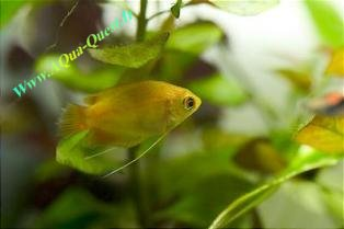 http://www.aqua-quest.ir/Files/Picture/Aquarium-Basics/Compatibility/Groups/Group1/Honey-Gouramis-Www.AQua-Quest.Ir.jpg