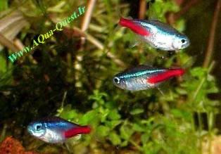 http://www.aqua-quest.ir/Files/Picture/Aquarium-Basics/Compatibility/Groups/Group1/Neon-Tetras-Www.AQua-Quest.Ir.jpg