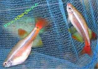 http://www.aqua-quest.ir/Files/Picture/Aquarium-Basics/Compatibility/Groups/Group1/White-Clouds-Www.AQua-Quest.Ir.jpg