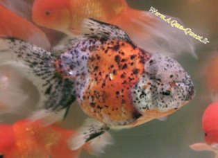 http://www.aqua-quest.ir/Files/Picture/Aquarium-Basics/Compatibility/Groups/Group10/Calico-Oranda-Www.AQua-Quest.Ir.jpg