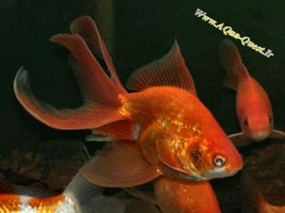 http://www.aqua-quest.ir/Files/Picture/Aquarium-Basics/Compatibility/Groups/Group10/Fantail-Goldfish-Www.AQua-Quest.Ir.jpg