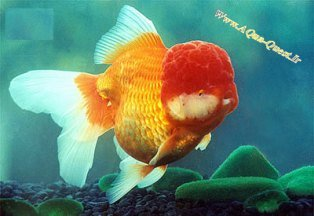 http://www.aqua-quest.ir/Files/Picture/Aquarium-Basics/Compatibility/Groups/Group10/Red-Oranda-Www.AQua-Quest.Ir.jpg