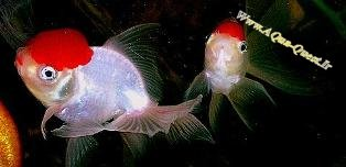 http://www.aqua-quest.ir/Files/Picture/Aquarium-Basics/Compatibility/Groups/Group10/RedCap-Orandas-Www.AQua-Quest.Ir.jpg