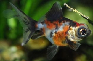 http://www.aqua-quest.ir/Files/Picture/Aquarium-Basics/Compatibility/Groups/Group10/Telescope-Calico-Goldfish-Www.AQua-Quest.Ir.jpg