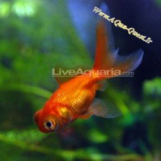 http://www.aqua-quest.ir/Files/Picture/Aquarium-Basics/Compatibility/Groups/Group10/Telescope-Goldfish-Red-Www.AQua-Quest.Ir.jpg