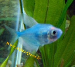 http://www.aqua-quest.ir/Files/Picture/Aquarium-Basics/Compatibility/Groups/Group2/Blue-Painted-Tetra-Www.AQua-Quest.Ir.jpg