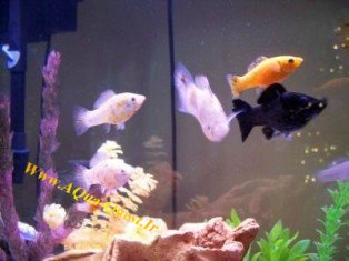 http://www.aqua-quest.ir/Files/Picture/Aquarium-Basics/Compatibility/Groups/Group2/Mollies-Www.AQua-Quest.Ir.jpg