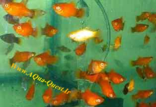 http://www.aqua-quest.ir/Files/Picture/Aquarium-Basics/Compatibility/Groups/Group2/Platies-Www.AQua-Quest.Ir.jpg