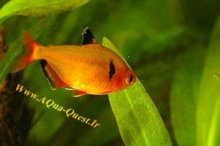 http://www.aqua-quest.ir/Files/Picture/Aquarium-Basics/Compatibility/Groups/Group2/Serpae-Tetra-Www.AQua-Quest.Ir.jpg
