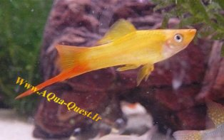 http://www.aqua-quest.ir/Files/Picture/Aquarium-Basics/Compatibility/Groups/Group2/SwordTail-Www.AQua-Quest.Ir.jpg
