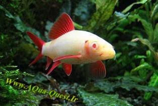 http://www.aqua-quest.ir/Files/Picture/Aquarium-Basics/Compatibility/Groups/Group3/Albino_Rainbow_Shark_-Www.AQua-Quest.Ir.jpg