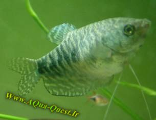 http://www.aqua-quest.ir/Files/Picture/Aquarium-Basics/Compatibility/Groups/Group3/Blue-Gourami-Www.AQua-Quest.Ir.jpg