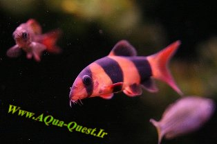 http://www.aqua-quest.ir/Files/Picture/Aquarium-Basics/Compatibility/Groups/Group3/Clown-Loach-Www.AQua-Quest.Ir.jpg