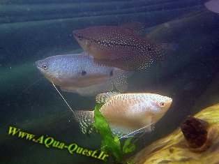 http://www.aqua-quest.ir/Files/Picture/Aquarium-Basics/Compatibility/Groups/Group3/Gouramis-Www.AQua-Quest.Ir.jpg