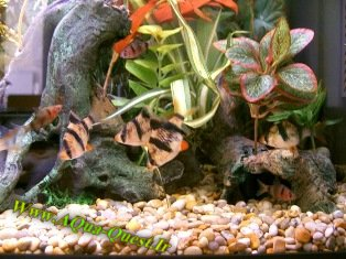 http://www.aqua-quest.ir/Files/Picture/Aquarium-Basics/Compatibility/Groups/Group3/TigerBarbs-Www.AQua-Quest.Ir.jpg