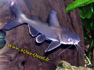 http://www.aqua-quest.ir/Files/Picture/Aquarium-Basics/Compatibility/Groups/Group3/White-Tip-Sharks-Www.AQua-Quest.Ir.jpg