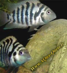 http://www.aqua-quest.ir/Files/Picture/Aquarium-Basics/Compatibility/Groups/Group4/Convict-Www.AQua-Quest.Ir.jpg