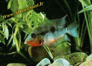 http://www.aqua-quest.ir/Files/Picture/Aquarium-Basics/Compatibility/Groups/Group4/FireMouth-Www.AQua-Quest.Ir.jpg