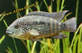 http://www.aqua-quest.ir/Files/Picture/Aquarium-Basics/Compatibility/Groups/Group4/Jack--Www.AQua-Quest.Ir.jpg