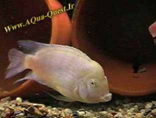 http://www.aqua-quest.ir/Files/Picture/Aquarium-Basics/Compatibility/Groups/Group4/Pink-Convict-Www.AQua-Quest.Ir.jpg