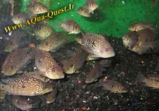 http://www.aqua-quest.ir/Files/Picture/Aquarium-Basics/Compatibility/Groups/Group4/Texas-Cichlid-Www.AQua-Quest.Ir.jpg