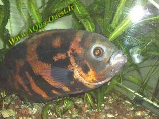 http://www.aqua-quest.ir/Files/Picture/Aquarium-Basics/Compatibility/Groups/Group5/Black-Oscar-Www.AQua-Quest.Ir.jpg