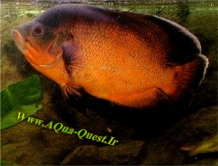 http://www.aqua-quest.ir/Files/Picture/Aquarium-Basics/Compatibility/Groups/Group5/Red-Oscar-Www.AQua-Quest.Ir.jpg