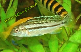 http://www.aqua-quest.ir/Files/Picture/Aquarium-Basics/Compatibility/Groups/Group6/Auratus-Www.AQua-Quest.Ir.jpg