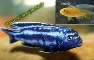 http://www.aqua-quest.ir/Files/Picture/Aquarium-Basics/Compatibility/Groups/Group6/Blue-Johannii-Www.AQua-Quest.Ir.jpg