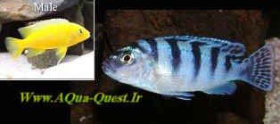 http://www.aqua-quest.ir/Files/Picture/Aquarium-Basics/Compatibility/Groups/Group6/Kenyi-Fish-Www.AQua-Quest.Ir.jpg