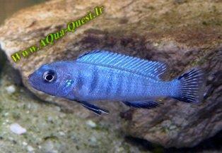 http://www.aqua-quest.ir/Files/Picture/Aquarium-Basics/Compatibility/Groups/Group6/Pindani-Www.AQua-Quest.Ir.jpg