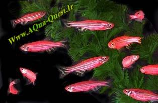 http://www.aqua-quest.ir/Files/Picture/Aquarium-Basics/Compatibility/Groups/Group6/Red-Zebra-Fish-Www.AQua-Quest.Ir.jpg