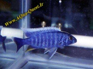 http://www.aqua-quest.ir/Files/Picture/Aquarium-Basics/Compatibility/Groups/Group7/Electric-Blue-Haps-Www.AQua-Quest.Ir.jpg