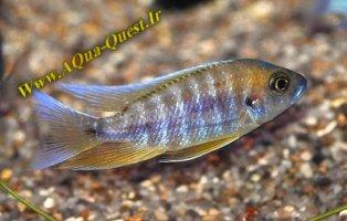 http://www.aqua-quest.ir/Files/Picture/Aquarium-Basics/Compatibility/Groups/Group7/Jacobfreibergi-Www.AQua-Quest.Ir.jpg