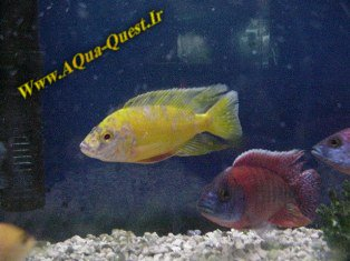 http://www.aqua-quest.ir/Files/Picture/Aquarium-Basics/Compatibility/Groups/Group7/Yellow-Peacocks-Www.AQua-Quest.Ir.jpg