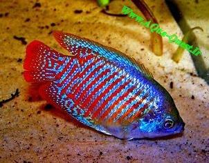 http://www.aqua-quest.ir/Files/Picture/Aquarium-Basics/Compatibility/Groups/Group8/Neon-Blue-Gouramis-Www.AQua-Quest.Ir.jpg