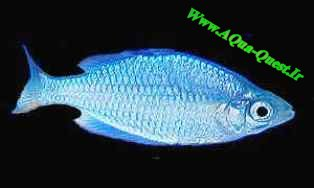 http://www.aqua-quest.ir/Files/Picture/Aquarium-Basics/Compatibility/Groups/Group8/Neon-Blue-Rainbows-Www.AQua-Quest.Ir.jpg