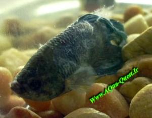 ماهی فایتر مبتلا به بیماری كلومناریس كه بیماری سبب بروز رشته های پنبه ای روی بدن ، باله ها ، دم و سر ماهی شده است