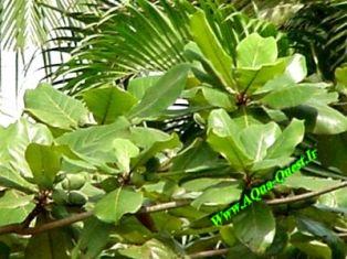 برگ های درخت بادام هندی تازه