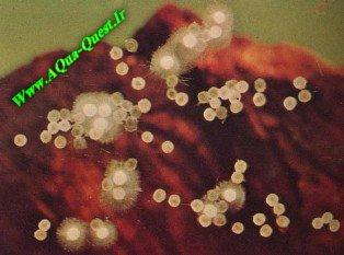 http://www.aqua-quest.ir/Files/Picture/Aquarium-Basics/Disease/Eggs-Fungus/Fungus-Fish-Eggsa-Www.AQua-Quest.Ir.jpg