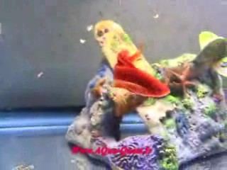 http://www.aqua-quest.ir/Files/Picture/Movie/Live-Breeders/Forum/Red-Eye-Red-Swordtail-Www.AQua-Quest.Ir.jpg
