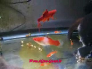 http://www.aqua-quest.ir/Files/Picture/Movie/Live-Breeders/Forum/Swordtails-Fighting-Www.AQua-Quest.Ir.jpg