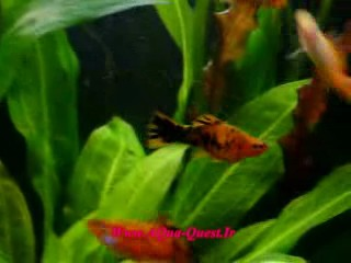 http://www.aqua-quest.ir/Files/Picture/Movie/Live-Breeders/Forum/Swordtails-guppies-and-more-fish-Www.AQua-Quest.Ir.jpg