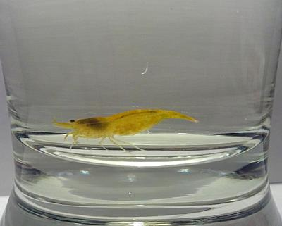 yellow_female_shrimp_by_allhailz-d65omek.jpg